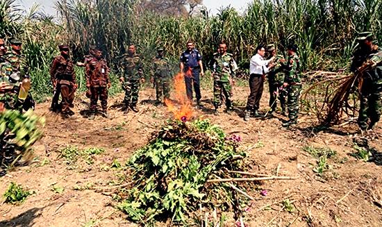poppy-plants-destoryed-in-Bangladesh